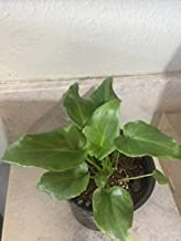 Philodendron Deja Vu (Young Plant)