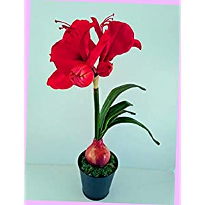 Artificial 17″ Deep Red Amaryllis Plant Artificial Silk Floral Flowers Bouquet Realistic Flower Arrangements Craft Art Decor Plant for Party Home Wedding Decoration