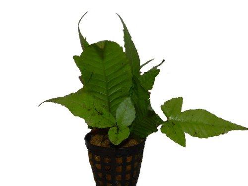 Bolbitis heteroclita - Geschwänzter Wasserfarn, Wasserpflanzen, Aquariumpflanzenn