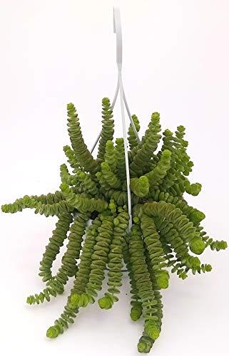 Crassula HOTTENTOT Halskette aus Jade, echte Pflanze