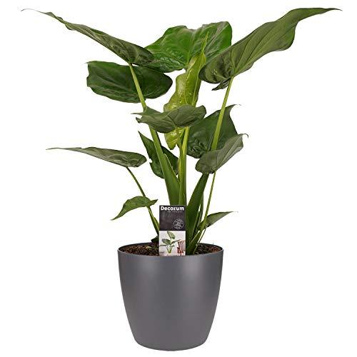 Zimmerpflanze von Botanicly – Elefantenohr in anthrazitfarbenem Übertopf als Set – Höhe: 65 cm – Alocasia Cucullata