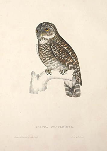 Posterazzi Birds from Himalayas 1831 Asian Barred Owl Poster Print by J & E Gould, (18 x 24)