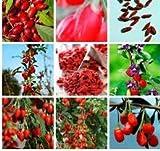 50 Goji Berry Seeds- Juicy Wolfberry -Organic Heirloom Fruit Plant - Lycium Barbarum- Red Medlar-Fructus Lycii- Lots of Health Benefits-F018