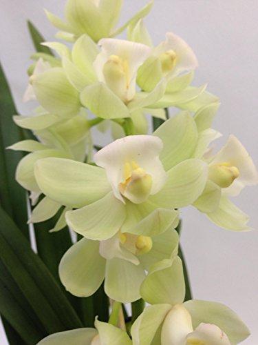 1 blühfähige Orchidee der Sorte: Cymbidium Pleiades weiss, traumhafte Orchidee vom deutschen Züchter