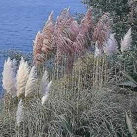 Somarac Limited time cheap sale - Free shipping / New Fresh Seeds Cortaderia Pampa Pampas selloana Grass