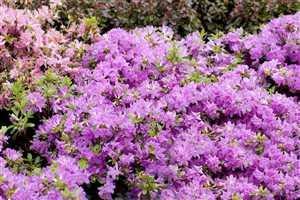 Rhododendron obt. 'Diamant Enzianblau' Japanische Azalee 20-25cm im Topf gewachsen