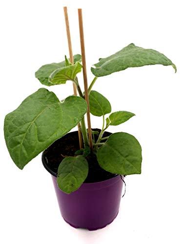 Andenbeere Physalis peruviana Obst Pflanzen 2stk.