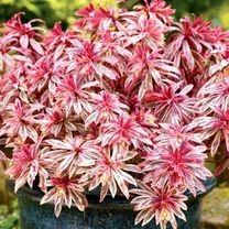 Euphorbia Plants - Frosted Flame