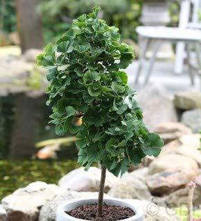 Hochstamm Fächerblattbaum Troll 60-80cm - Ginkgo biloba