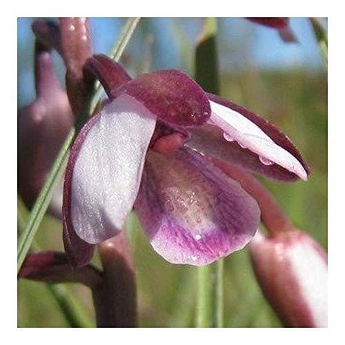 Eulophia clavicornis - Orchidées - 20 graines