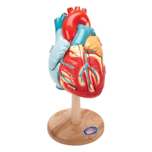 Denoyer Geppert 0185-00 Human Skin Series Anatomical Model with Burn Pathologies 16 Length x 3 Width x 10 Height 16 Length x 3 Width x 10 Height 3B Scientific W42533