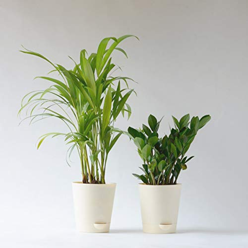 Ugaoo Air Purifier Indoor Plants for Home with Pots- Areca Palm & ZZ Plant