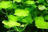 *WFW wasserflora Japanisches Schaumkraut/Cardamine lyrata