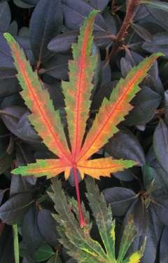 Tiger Rose Japanese Maple 2 - Year Live Plant