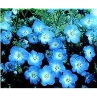 Just Seed Flower Nemophila menziesii