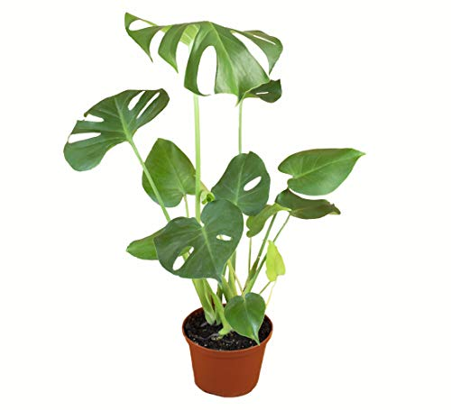 Shop Succulents | Standing Collection Zamioculcas Zamiifolia Hand Selected, Air...