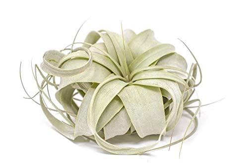 Bio-Saatgut Nicht nur Pflanzen: 1: Xerographica Air | Die ng Air | 4-6 100 Seeds Tillandsia by FäHRE