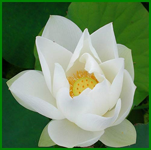 Bonsai Lotus Seeds,Water Lily Flower Plant,20PCS Finest Viable Aquatic Water Features Seeds,Home Garden Yard Decor (White)
