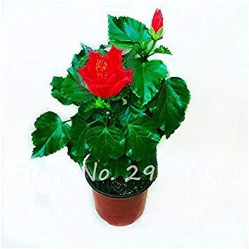 prime vista Zimmer Zierpflanze Mini Bonsai Hibiscus Samen, seltene Topfblumensamen, mehrjährige Blumen Garten Gewächshaus Pflanze 100 Stück 3