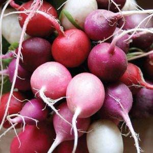 Easter Egg Mix Radis de Seeds 25 jours avant la récolte non-OGM biologique