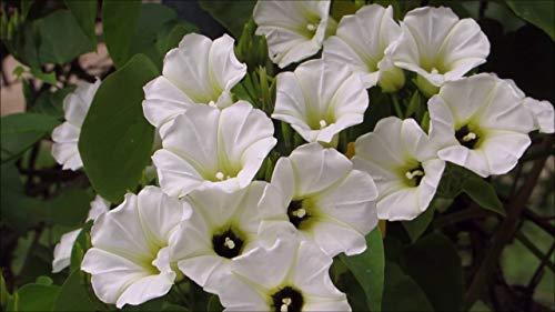 Asklepios-seeds® - 200 Samen Turbina corymbosa (Synonym: Rivea corymbosa) Ololiuqui