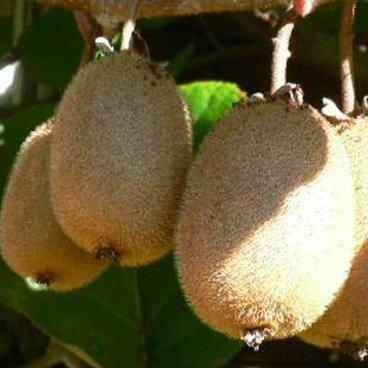 Kiwi `Solo´, selbstfruchtbar, Actinidia...