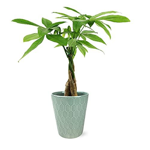 Plants & Blooms Shop Money Tree, Vintage Green Pot