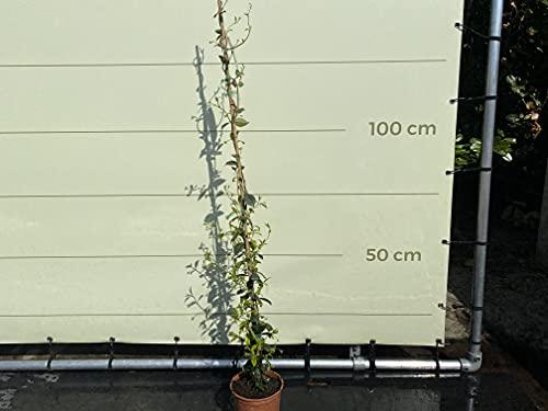 Toscaanse jasmijn – Trachelospermum jasminoïdes 120-140 cm