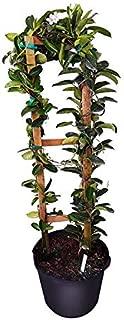 PlantVine Stephanotis floribunda, Bridal Wreath, Madagascar Jasmine - Large, Trellis - 8-10 Inch Pot (3 Gallon), Live Plant
