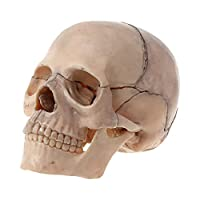 YYCHER 15ピース/セット4D分解スカル解剖学的モデル取り外し可能な医療教育ツール (Color : White)