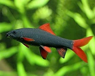 Aquarium Plants Discounts Rainbow Shark 2