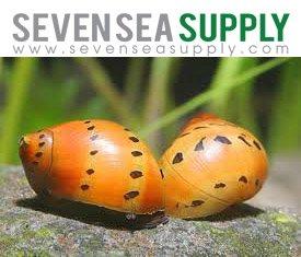 SevenSeaSupply 6 Nerite Snails Combo Pack - 3 Tiger Nerite Snails, 3 Zebra Nerite Snails - Live Snails