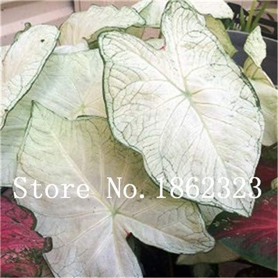 prime vista 100 Stücke Caladium Bonsai Caladium Bicolor Blume Bonsai Zimmerpflanzen Bonsai Colocasia Pflanze Für Hausgarten topfpflanze: 10