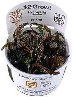 【Tropica・水草】 ハイグロフィラ・ピンナティフィダ 1・2・Grow! ※無農薬 ※スネール無し (2カップ)