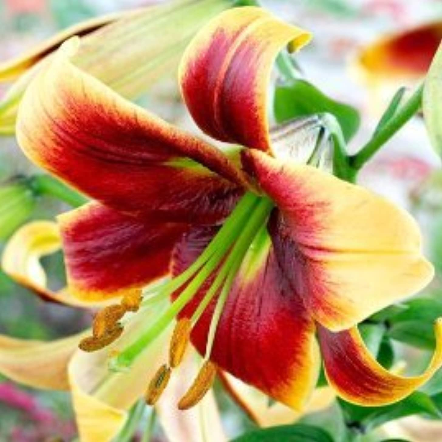 5 Debbie Giant Hybrid Trumpet Bulbs! Oriental Lily. End of Spring Clearance Prices! Size 16/18 Cm