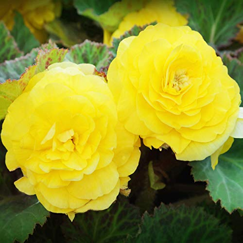Outsidepride Yellow Begonia - 500 Seeds