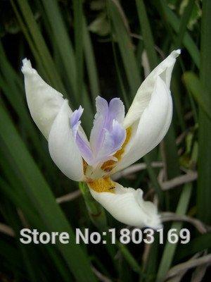 Promotion supérieure des semences Moraea! 24 types 50pcs Rare Fower Graines pour Garden Flores Plantes d'intérieur