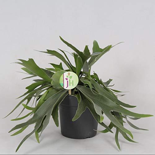Geweihfarn 40 cm - 40 cm Ø Platycerium Bifurcatum - Zimmerpflanze - Grünpflanze