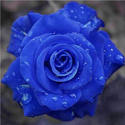 Plantes ornementales,Balcon de graines de Roses en Pot Fleurs Bleues Fairy_50,Graine parfumée Vivace