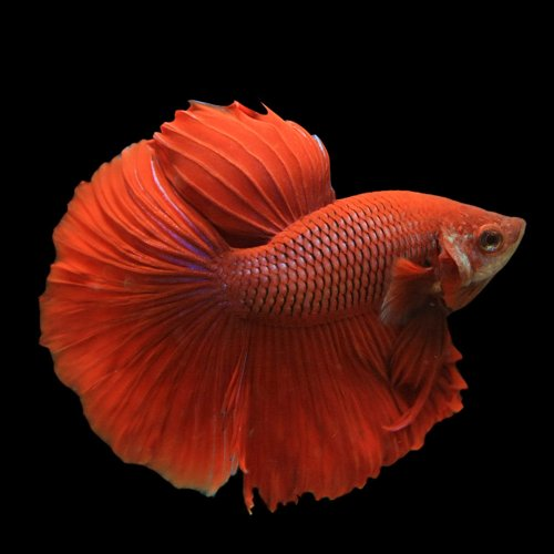 (熱帯魚)ベタ スーパーデルタテール オス(色おまかせ)(約3cm)<1匹>[生体]