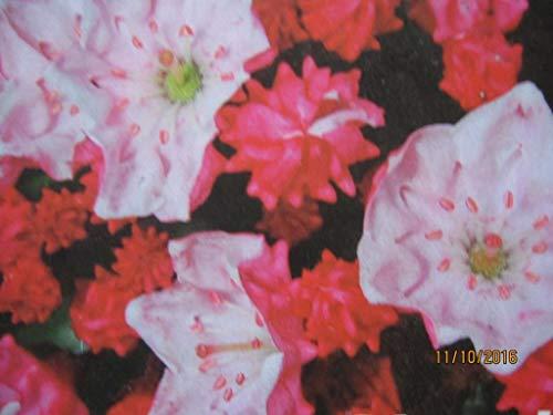 Kalmia latifolia Raspberry Glow -...