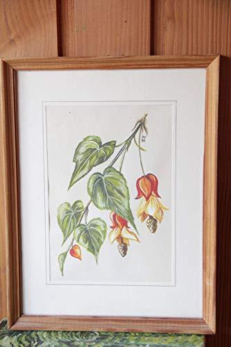 original Aquarell Zimmerahorn/Abutilon mit orangen Blüten - gerahmt in schlichtem Holzrahmen 11,5x17cm