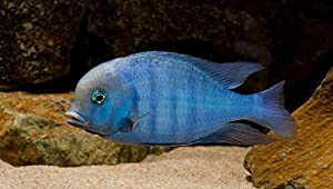 """WorldwideTropicals Live Freshwater Aquarium Fish - 3-4"""" Malawi Blue Dolphin - Cyrtocara Moorii - by Live Tropical Fish - Great For Aquariums - Populate Your Fish Tank!"""