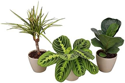 Thorsen's Greenhouse Ranking TOP19 Fashion Exotic Houseplant Set Live 3 Indoor Pack
