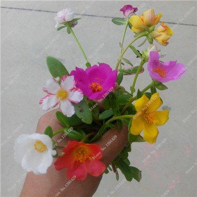 Graine coloré Portulaca, rose moussue Graine pourpier Double Flower Heat Tolerant, facile Semer des graines de fleurs d'extérieur 100 pièces/lot