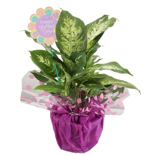 Costa Farms Dumb Cane Dieffenbachia, Live Indoor Plant Decorated Wrap, Mother's Day Gift, 16 to 20-Inches Tall