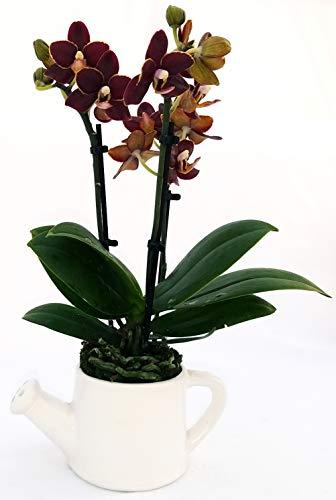 Orchidee, Phalaenopsis, schwarz, in...