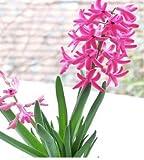 Top qualità 20 pezzi Hyacinthus Orientalis Seed 4 colori per Chose semi di fiore