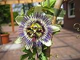 Passiflora caerulea Passionsblume 40-60 cm