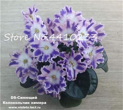 Générique Fresh 100 Pcs Mini Violet Rare fleur GRAINE pour la plantation Blanc bleu